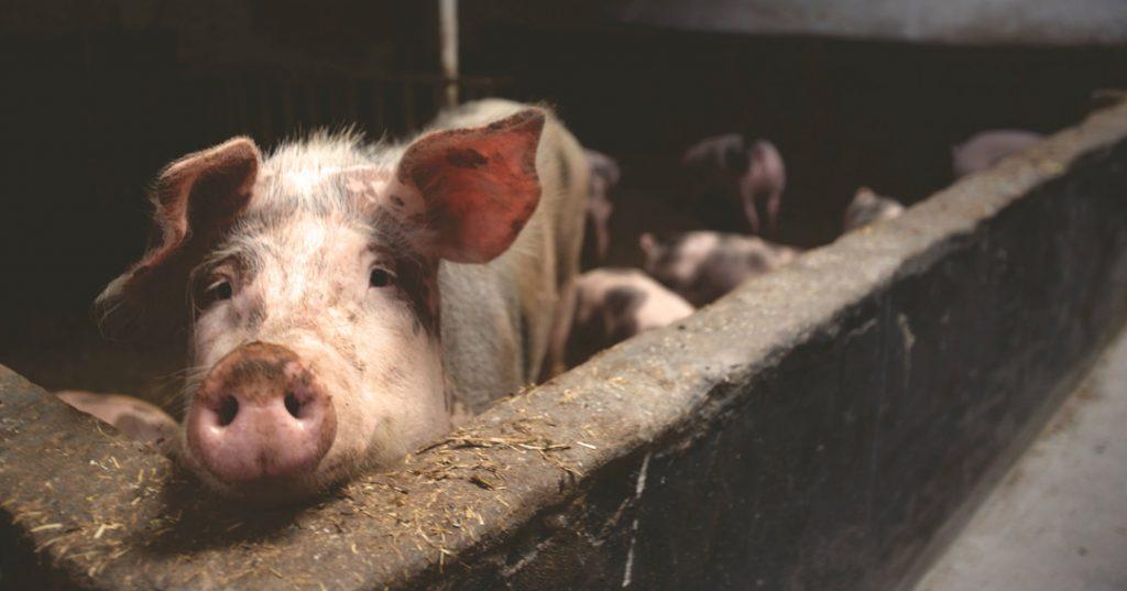 Pork industry website 2
